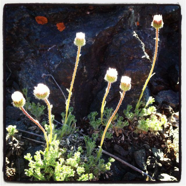 Spring wildflower season in Summit County Colorado