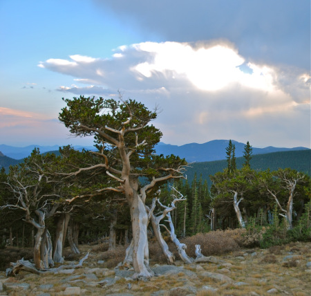 Tracking Colorado S Oldest Trees