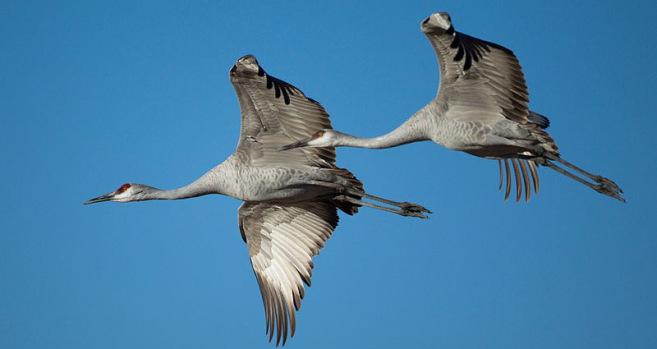 Colorado sandhill cranes