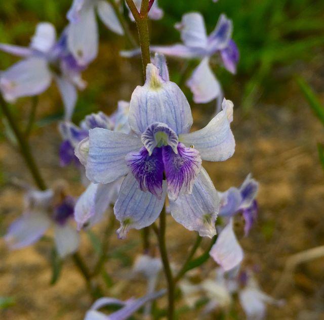 Colorado wildflower larkspur